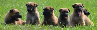belgian shepherd rescue dogs belgian malinois puppies