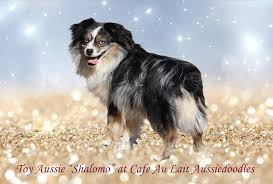south dakota australian shepherd rescue mini aussie doodle puppies