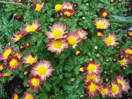 Flowers Information - chrysanthemum cultivation information guide agrifarming in