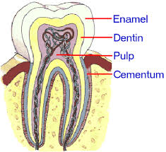 Human Dental Anatomy Tooth Anatomy Tissues Of A Tooth