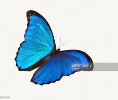 bright blue butterfly flying against a white backdrop stock photo