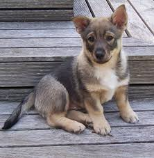 belgian shepherd wolf mix swedish vallhund i want one of these so bad they look like a mix