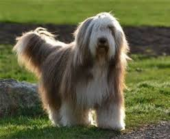 bearded collie x terrier 229 best beardies images on pinterest