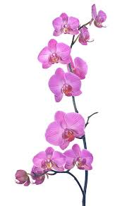 orchid pictures orchid pictures images and stock photos istock