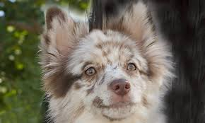 australian shepherd yorkshire terrier mix meet shea the australian shepherd mix on pack