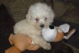 bichon frise kennels bichon frise x toy poodle wisbech cambridgeshire pets4homes