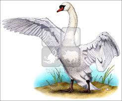 mute swan cygnus olor line art and full color illustrations