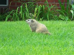 rid groundhogs facts photos u0026