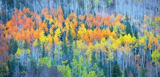 why aspen leaves change color during fall four seasons landscaping