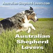 australian shepherd upkeep how much do australian shepherds shed