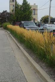 low growing hedge for narrow spaces foerster feather reed