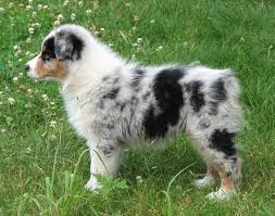 images of australian shepherd faithwalk aussies eyes pigment markings