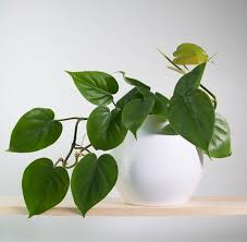 11 best indoor vines and climbers you can grow easily in your home