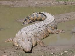 crocdile and alligator images saltwater crocodile hd wallpaper and