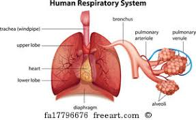 free art print of human respiratory system diagram drawing of the