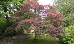 maple trees for sale uk ornamental maples variegated maples
