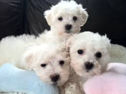 bichon frise jack russell for sale bichon frise puppy dog for sale in phoenix arizona