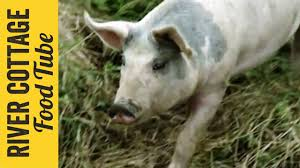 keeping pigs part 1 hugh fearnley whittingstall youtube