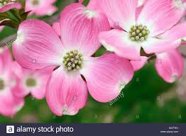 dogwood flowers pink flowering dogwood stock photos pink flowering dogwood stock