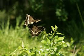 free picture butterfly dance pair butterflies hover plant