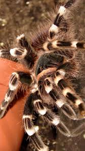 spirit halloween jumping spider 169 best tarantula images on pinterest spiders animals and