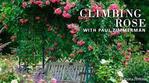 climbing roses youtube
