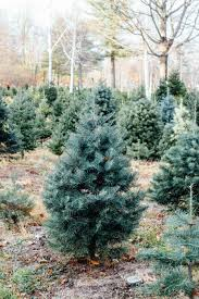 christmas tree farm outing in massachusetts by gabriella