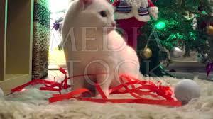 beautiful white cat wearing christmas thin red ribbon youtube