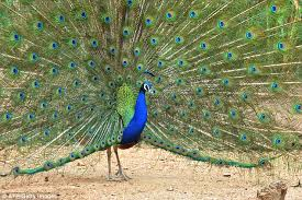 peacock feathers legs and fat are used in indian medicine daily