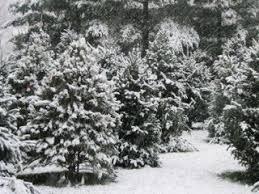 home divencenzo christmas tree farm