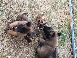 belgian shepherd oklahoma litter of 9 belgian malinois puppies for sale in west plains mo