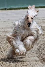afghan hound king of dogs 168 best images about dogs on pinterest beautiful dogs poodles