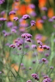 verbena flower growing verbena thriftyfun