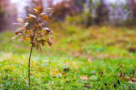 small oak tree with yellow leaves in autumn stock photo picture and