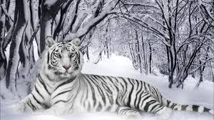 tiger in snow desktop background hd 1920x1080 deskbg com