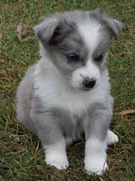 rescue an australian shepherd puppy harvest thyme homestead a rescue puppy for christmas