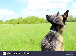 belgian sheepdog south africa malinois dog stock photos u0026 malinois dog stock images alamy