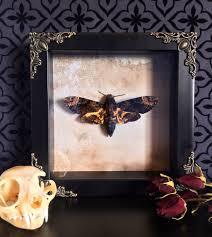 asian death head moth shadow box taxidermy real butterfly
