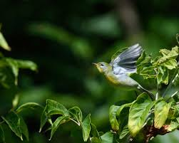 north american native plant society it u0027s true some north american birds can u0027t keep up with shifting