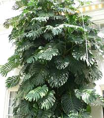 large houseplants monstera deliciosa houseplant wiki fandom powered by wikia
