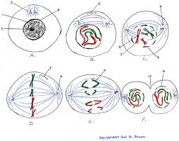 Cell Cycle Concept Map Cell Cycle Diagram Blank Image Gallery Hcpr