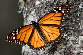 is the annual monarch butterfly migration coming to an end