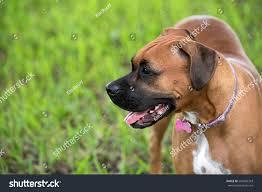 boxer dog female beautiful brown female boxer dog stock photo 569286343 shutterstock