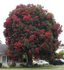28 flower trees popular flower trees buy cheap