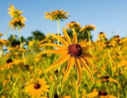 missouri native plants black eyed susan mdc discover nature