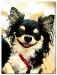 long hair chihuahua hair growth what to expect what to expect from a chihuahua s heat cycle