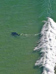 surfers face new reality as great whites become frequent visitors