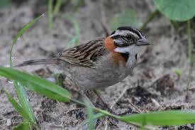 rufous collared sparrow tico tico birdnote