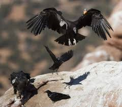 condor group wants to get more hunters to avoid lead bullets sfgate