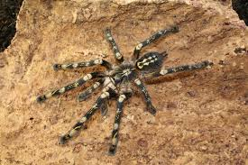 poecilotheria subfusca space for